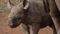 New hope for endangered black rhinos