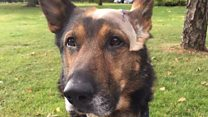 Stabbed police dog inspires petition