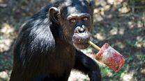 Aprende inglés: el zoológico donde los chimpancés aprenden a ser chimpancés