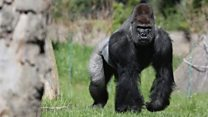 Gorilla escape under investigation