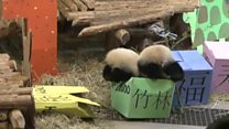 Panda cubs celebrate first birthday