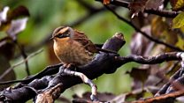 Siberian Accentor spotted in Sunderland
