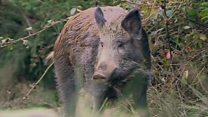 Forest of Dean's pig pest