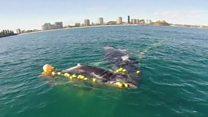 Así rescataron a una cría de ballena jorobada atrapada en una red para tiburones en Australia