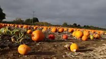 Farm opens to families to pick pumpkins