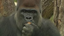 Calm down! It's just an escaped gorilla
