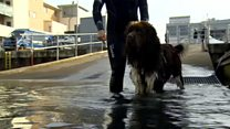 The Newfoundland dogs training to save lives