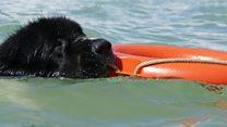 تلاش یک سازمان خیریه در انگلستان برای تربیت سگهای نجات غریق