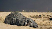 Из-за горящих нефтяных скважин в Мосуле почернели овцы