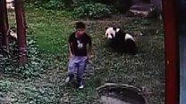 ماذا حدث لزائر صيني حاول دخول حظيرة الباندا من غير استئذان