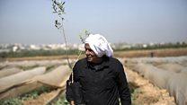 بي بي سي اكسترا: في فلسطين لو يذكر الزيتون غارسه