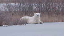 BBC inside polar bear 'capital'