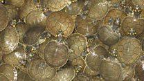 Aprende inglés: Liberan a miles de tortugas Taricaya en Perú para salvar a la especie
