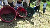 Milhares de filhotes de tartaruga ameaçada de extinção são soltos na Amazônia peruana