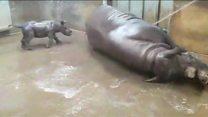 Bebê rinoceronte toma seu primeiro banho