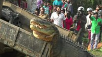 Large crocodile released back into river
