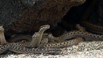 Hatchling marine iguana chased by snakes