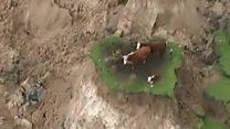 Vacas ilhadas: a destruição causada por terremoto na Nova Zelândia