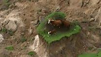 Новая Зеландия: коровы на островке после землетрясения