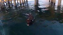 Cow escapes Australian cattle ship
