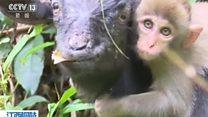 I goat you babe, says cheeky monkey