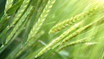 Saintis ciptakan tanaman pangan yang tumbuh lebih cepat