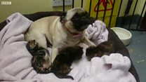Watch: Pug adopts abandoned kittens
