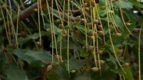 Protecting SA's macadamia nut crop