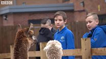 Alpacas to help calm schoolchildren