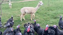 How alpacas keep turkey off the menu