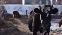 Корови на пенсії: перший у Росії коров'ячий хоспіс