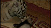 トラの赤ちゃん、フェレットと仲良しに ロシアの動物園