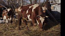 مزرعة للأبقار المتقاعدة في روسيا