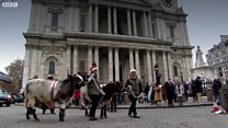 Watch: Cows on the mooove in the City of London