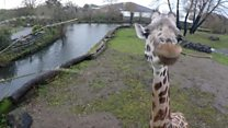 'Humans causing drop in giraffe numbers'