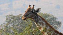 ТВ-новости: почему исчезают жирафы?