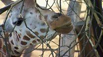 Как жирафы столкнулись с угрозой вымирания