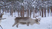 Arctic reindeer shrinking say researchers