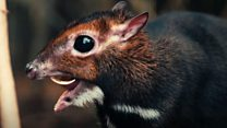 First Philippine mouse deer is born in the UK
