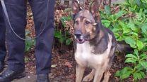 Stabbed police dog due back to work