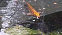 Donated koi carp replace killed fish