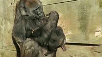 Baby gorilla cuddles up to foster mum