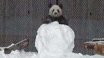 Панда і сніговик: хто переможе?