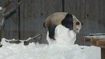 Панда играет со снеговиком