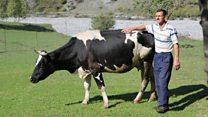 Европа сигири ва озарий фермер можароси