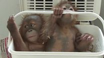 Baby orangutans rescued from taxi
