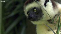 视频:生存受到威胁的马达加斯加狐猿