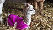 Baby alpaca a Christmas 'miracle'