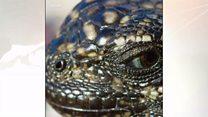 سمندری چھپکلی اور شکاری سانپوں کا مقابلہ