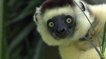 Почему лемурам Мадагаскара грозит вымирание